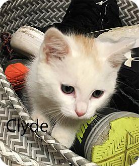 Domestic Shorthair Kitten for adoption in N. Billerica, Massachusetts - Clyde