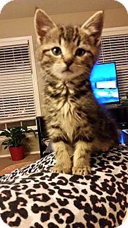 Domestic Shorthair Kitten for adoption in Overland Park, Kansas - Ren