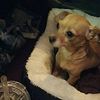 Chihuahua Mix Dog for adoption in Temecula, California - Emma