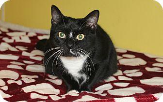 Domestic Shorthair Cat for adoption in Ocean Springs, Mississippi - Rose