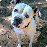 Adopt A Pet :: Rose - Lawrenceville, GA