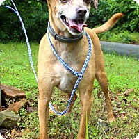 Italian Greyhound/Chihuahua Mix Dog for adoption in Manchester, Connecticut - Guido meet me 6/30