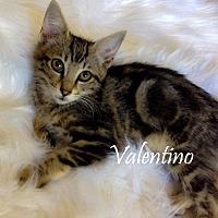 Adopt A Pet :: Valentino - Modesto, CA