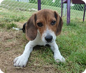 Beagle Dog for adoption in Ashland, Virginia - PeggySue-ADOPTED!!!