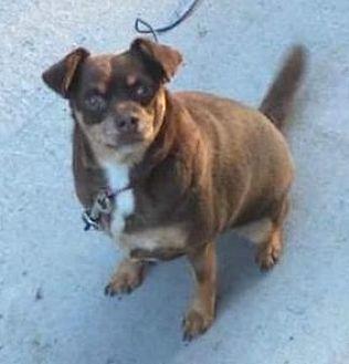 Miniature Pinscher/Chihuahua Mix Dog for adoption in West Allis, Wisconsin - Minnie