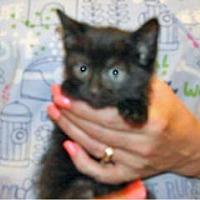 Adopt A Pet :: Widget - Wildomar, CA