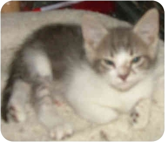 British Shorthair Kitten for adoption in Dallas, Texas - Christian
