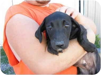 Labrador Retriever Puppy for adoption in Rochester, New Hampshire - gage