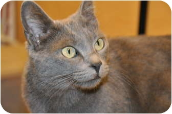 Domestic Shorthair Cat for adoption in Foothill Ranch, California - Mila