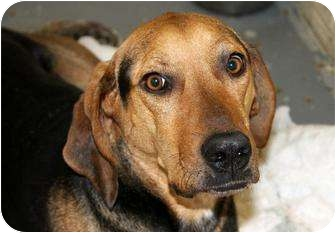 Black and Tan Coonhound/German Shepherd Dog Mix Dog for adoption in Cincinnati, Ohio - Emmy Lou: Red Bank