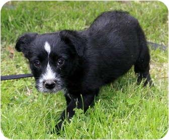Scottie, Scottish Terrier Mix Puppy for adoption in Staunton, Virginia - Bowen