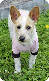 Toy Fox Terrier Mix Dog for adoption in Corpus Christi, Texas - Lexie
