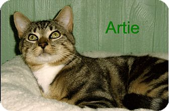 Domestic Shorthair Cat for adoption in Medway, Massachusetts - Artie