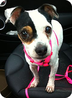Jack Russell Terrier/Pug Mix Dog for adoption in Huntsville, Ontario - Star - dogs, cats, kids = Yes!