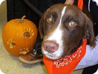 Spaniel (Unknown Type) Mix Puppy for adoption in Lapeer, Michigan - Spice-PUPPY!