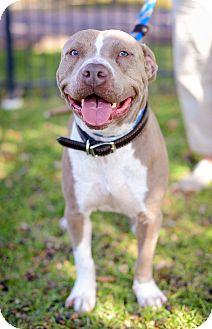 American Bulldog Mix Dog for adoption in Houston, Texas - Artie