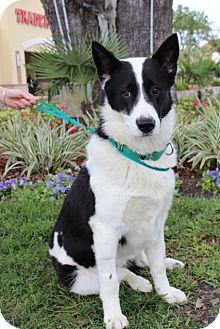 Border Collie Mix Dog for adoption in Gainesville, Florida - Bandit