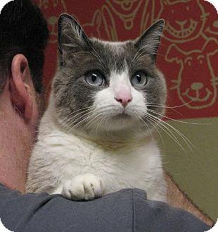 Snowshoe Cat for adoption in Davis, California - Reggie