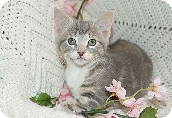 Domestic Shorthair Kitten for adoption in Berlin, Connecticut - Glimmer-PENDING
