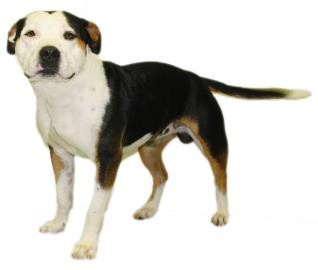 American Bulldog Mix Dog for adoption in Inverness, Florida - Hoosier