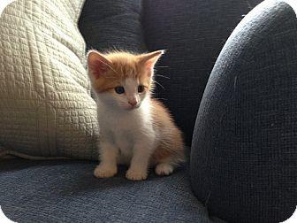Domestic Shorthair Kitten for adoption in Marietta, Georgia - Theo