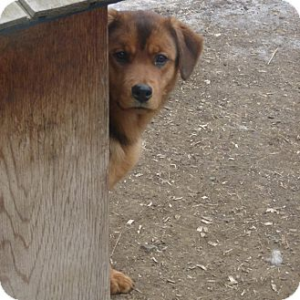 Shepherd (Unknown Type) Mix Dog for adoption in Merritt, British Columbia - Josee
