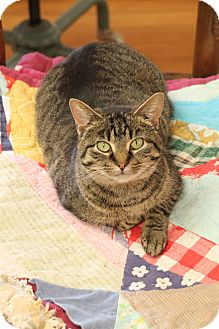 Domestic Shorthair Cat for adoption in Homewood, Alabama - Lady Mary