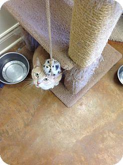 Domestic Shorthair Cat for adoption in Lake Charles, Louisiana - Penelope