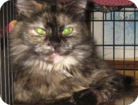 Ragdoll Cat for adoption in Dallas, Texas - Astrid