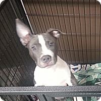 Adopt A Pet :: Devereaux - Vernon Hills, IL