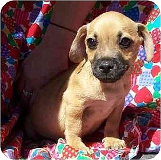 Dachshund/Pug Mix Puppy for adoption in Old Fort, North Carolina - Adopt Pending