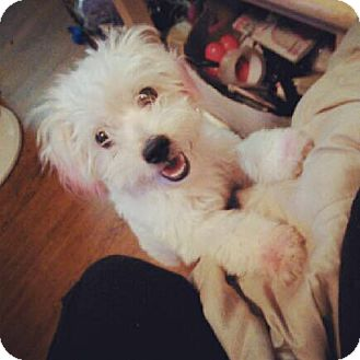 Maltese Mix Dog for adoption in Los Angeles, California - Candy