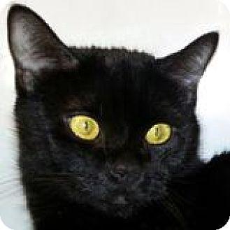 Bombay Cat for adoption in Walworth, New York - Morgan