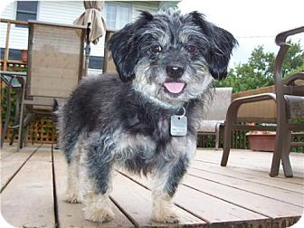 Yorkie, Yorkshire Terrier/Standard Schnauzer Mix Dog for adoption in Kirkland, Quebec - Muffie