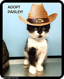 Domestic Shorthair Kitten for adoption in Studio City, California - Paisley