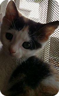 Calico Kitten for adoption in Rocklin, California - Confetti & Popper
