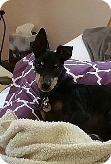 Manchester Terrier Dog for adoption in Studio City, California - Lenny
