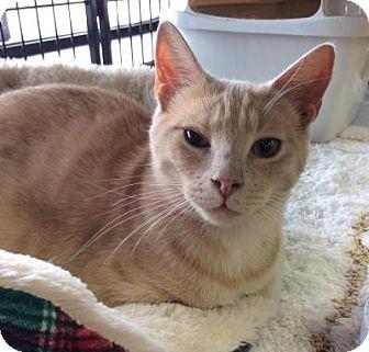Domestic Shorthair Cat for adoption in Breinigsville, Pennsylvania - Monkey