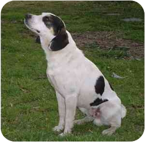 Fox Terrier (Smooth)/Beagle Mix Dog for adoption in Lake Charles, Louisiana - Kasey
