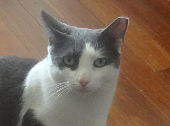 Domestic Shorthair Cat for adoption in New York, New York - GENTLE CHAMPOLINO&Friends