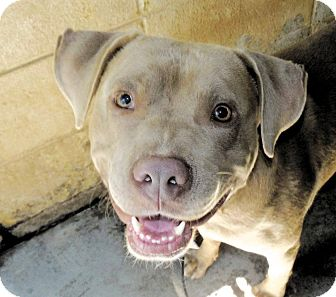 Pit Bull Terrier Mix Dog for adoption in Henderson, North Carolina - Dusty*