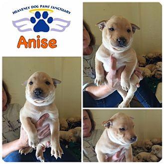 Catahoula Leopard Dog/Labrador Retriever Mix Puppy for adoption in Folsom, Louisiana - Anise