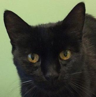 Domestic Shorthair Cat for adoption in Auburn, California - Lulu