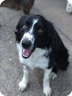 Border Collie Mix Dog for adoption in Redding, California - Rob