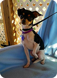 Rat Terrier Mix Puppy for adoption in Danbury, Connecticut - Tacoma