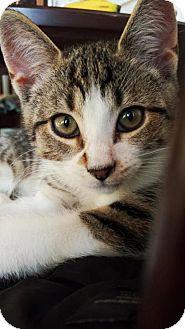 Domestic Shorthair Kitten for adoption in Marlton, New Jersey - Sal