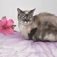 Siamese Cat for adoption in Pinckney, Michigan - Tuppence