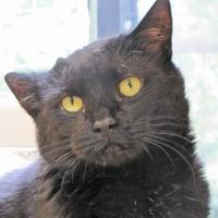 Domestic Shorthair/Domestic Shorthair Mix Cat for adoption in Woodstock, Illinois - Harley