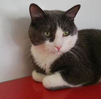 Domestic Shorthair/Domestic Shorthair Mix Cat for adoption in Winona, Minnesota - Ralph