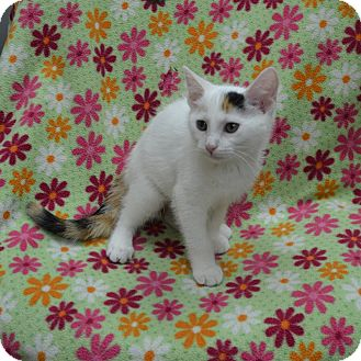 Domestic Shorthair Kitten for adoption in Wheaton, Illinois - Eliza